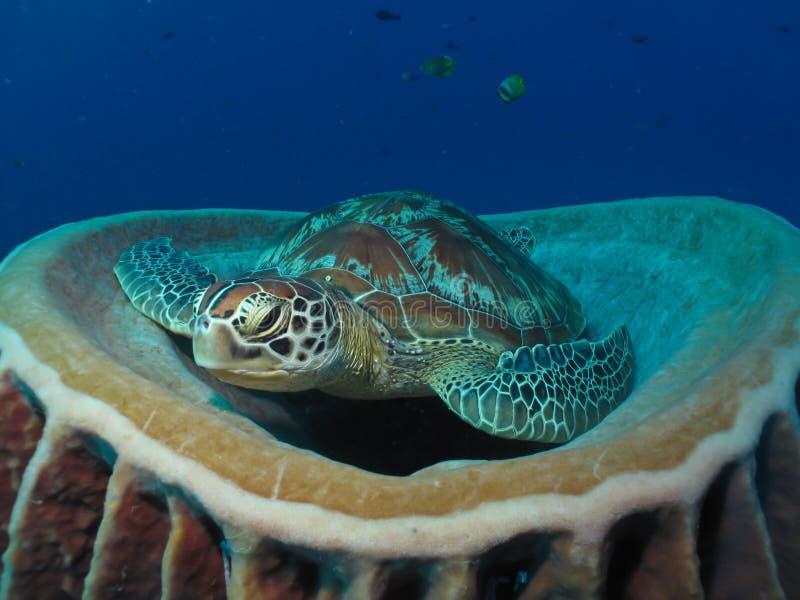 Green turtle resting on barrel sponge royalty free stock photos