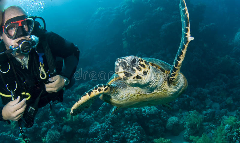 Green turtle with scuba diver swimming royalty free stock photo