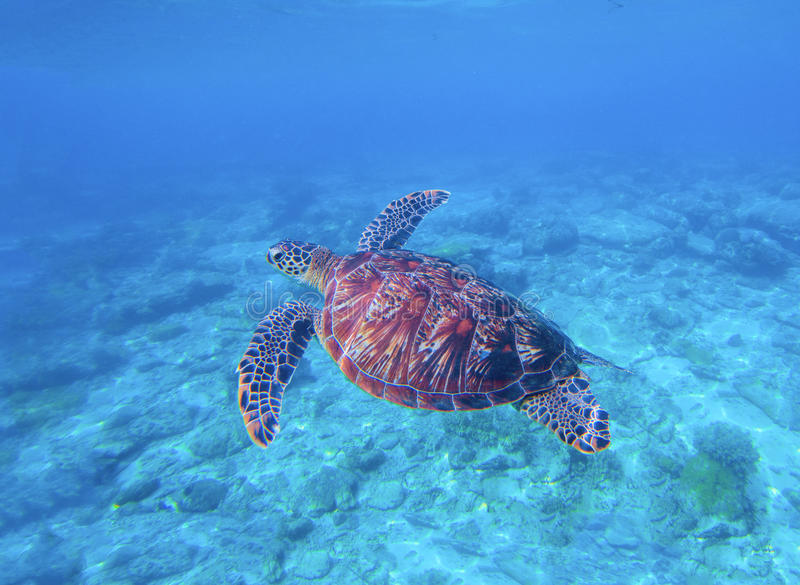 Green turtle in sea water with seabottom background. Underwater photography of wild oceanic animal. Tropical seashore inhabitant. Lovely green turtle swimming stock images