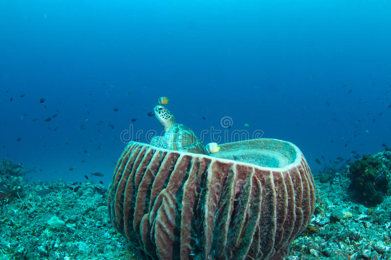 Download Green Turtle Sitting In A Barrel Sponge Stock Photo - Image of reef, reptile: 21801888