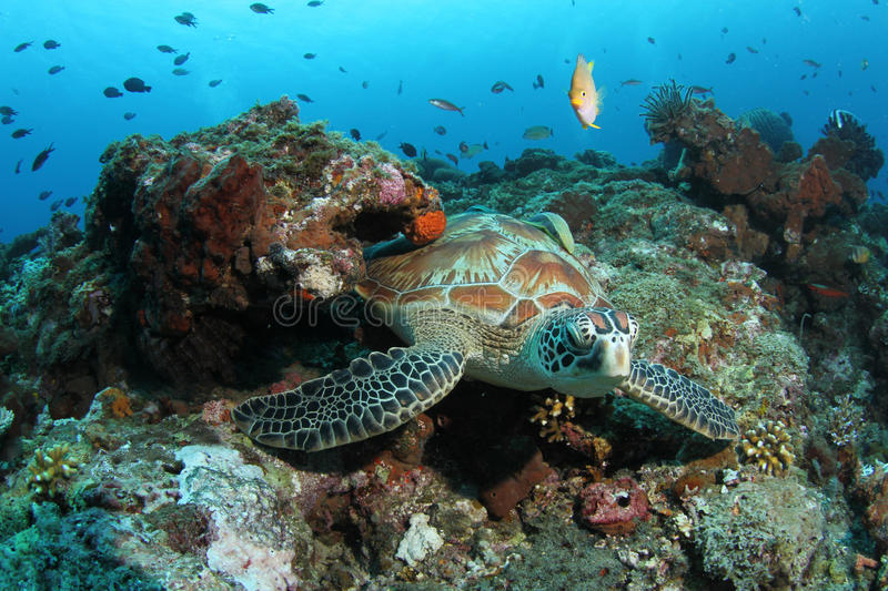 Green turtle sitting in tropical coral reef. A green turtle resting in a beautiful tropical coral reef stock image