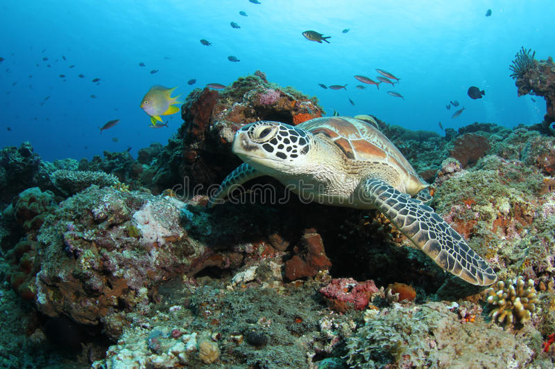 Green turtle sitting in tropical coral reef. A green turtle resting in a beautiful tropical coral reef stock photo