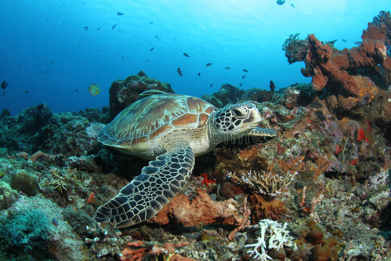 Green turtle sitting in tropical coral reef. A green turtle resting in a beautiful tropical coral reef stock images