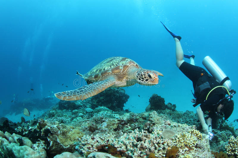 Green turtle swimming next to a diver. A green turtle swimming and being unnoticed by a diver who takes pictures of something else stock image