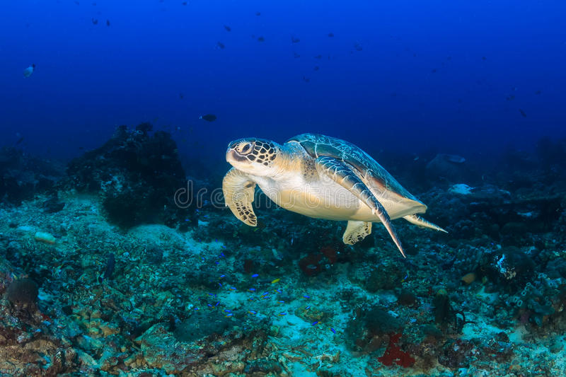 Green Turtle swimming on a reef royalty free stock photography