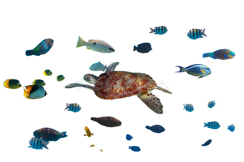 Download Green Turtle And Tropical Fishes Stock Image - Image: 30835983