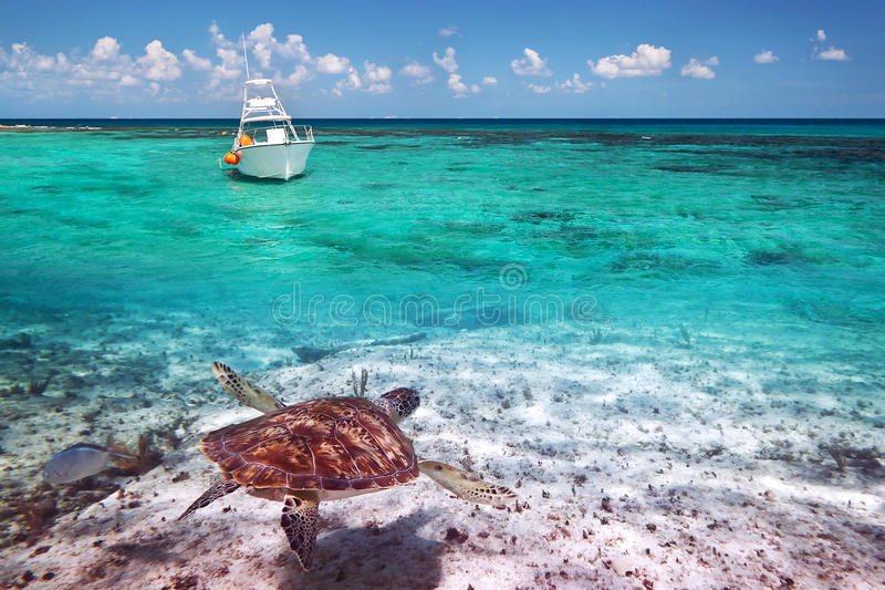 Green turtle underwater in Caribbean Sea. Green turtle in Caribbean Sea scenery of Mexico stock images