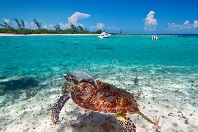 Green turtle underwater in Mexican scenery royalty free stock images