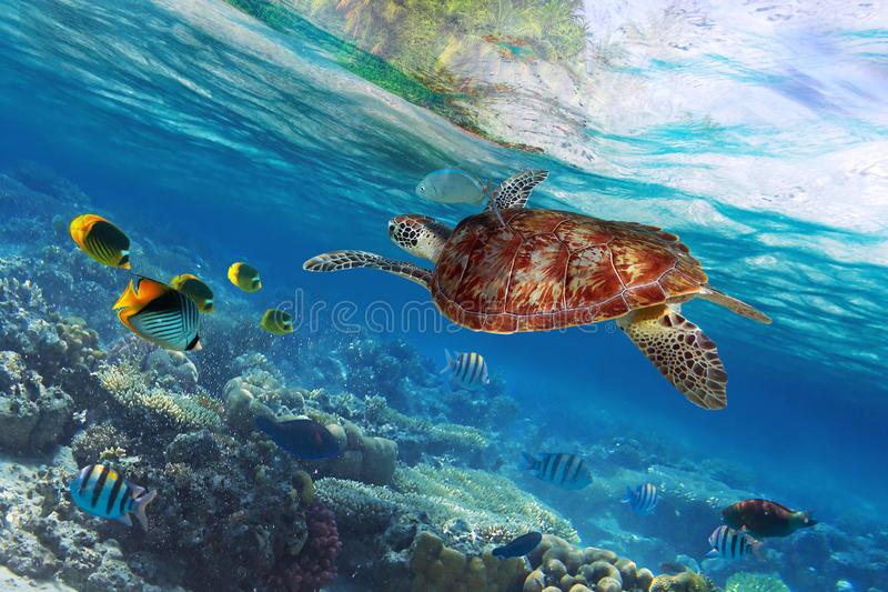 Green turtle underwater at the tropical island stock photo