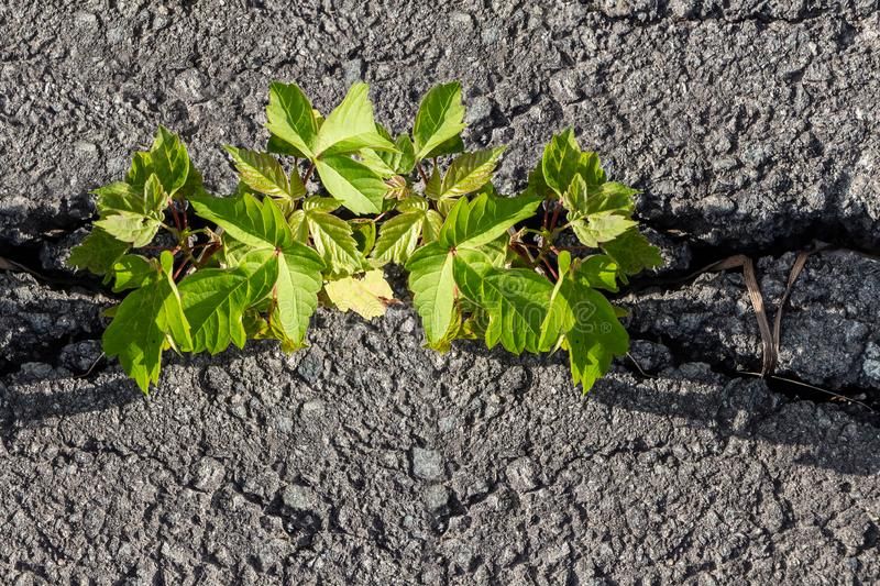 Green twigs of young maple seedling tree grow in the asphalt road crack royalty free stock photos