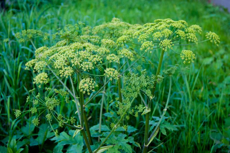 Green umbrellas of hogweed. Poisonous grass stock images