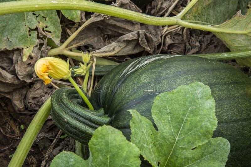 Green un-ripe pumpkin. A green un-ripe pumpkin in a farm pumpkin patch stock photography