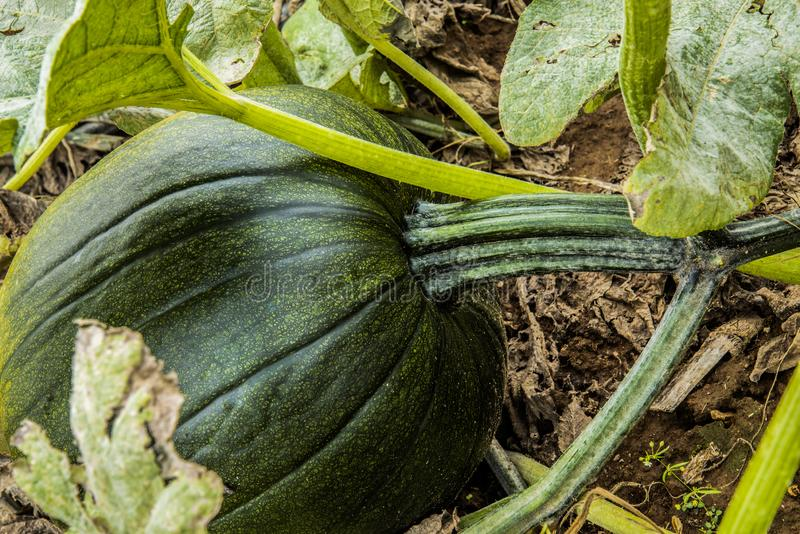 Green,un-ripe pumpkin. A green un-ripe pumpkin in a farm pumpkin patch stock image