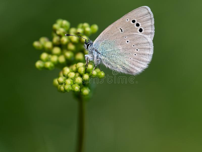 Glaucopsyche alexis butterfly. stock photos