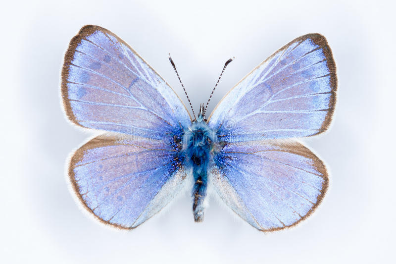 Green-underside Blue, Glaucopsyche alexis butterflies stock photo