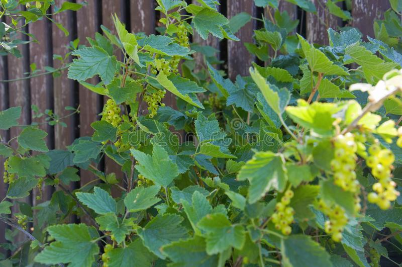 Green unripe black currant berries on blackberry bush with wooden fence on background. Summer stock images