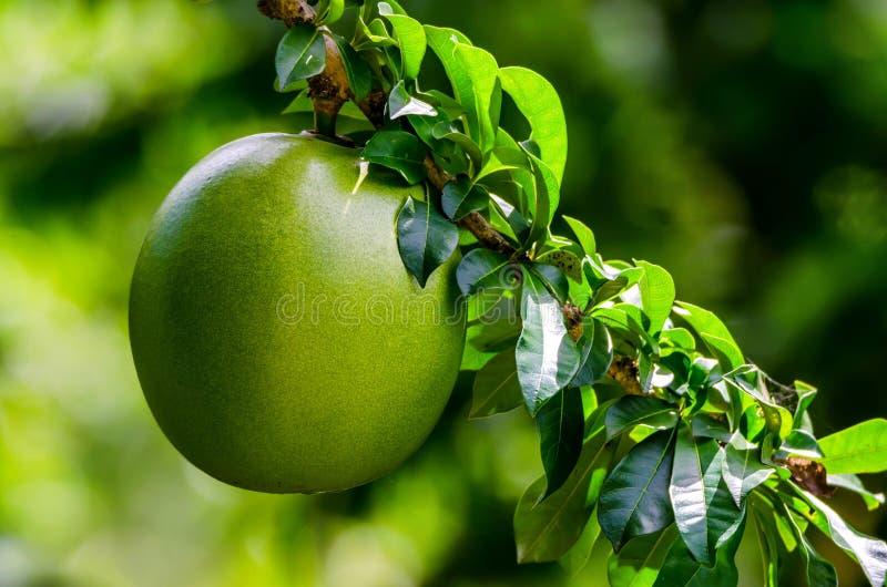 Green unripe passionfruit or Passiflora edulis. Close up green unripe passion fruit or Passiflora edulis hanging on tree royalty free stock photos