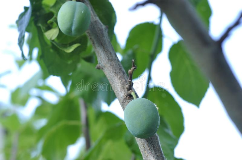Green unripe plums on the tree for home use.  royalty free stock photo