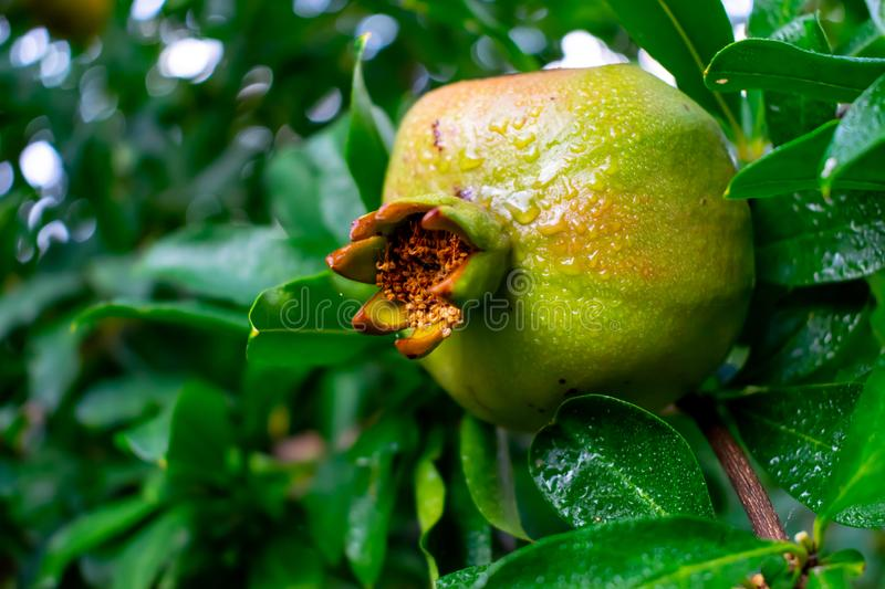Green unripe pomegranate with drops of rain on branch of pomegranate tree. close-up pomegranate and green leaves in nature. Image stock photography