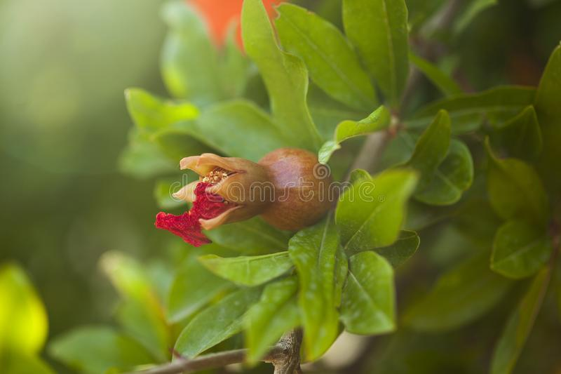 Green unripe pomegranate with drops of rain on branch. Green unripe pomegranate with tiny drops of rain on branch of pomegranate tree in the background of leaves stock image