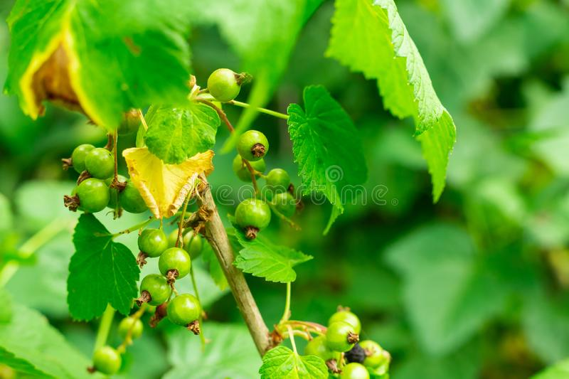 Green unripe red currant berries many fruits on the background of the leaves of the bush royalty free stock photo