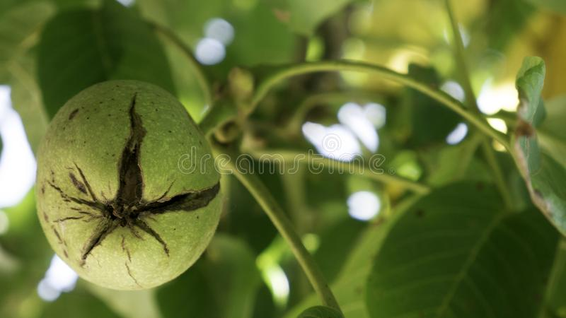 Green unripe walnuts hang on a branch. Ripe nuts of a Walnut tree. Green leaves and unripe walnut. Fruits of a walnut.  stock photo