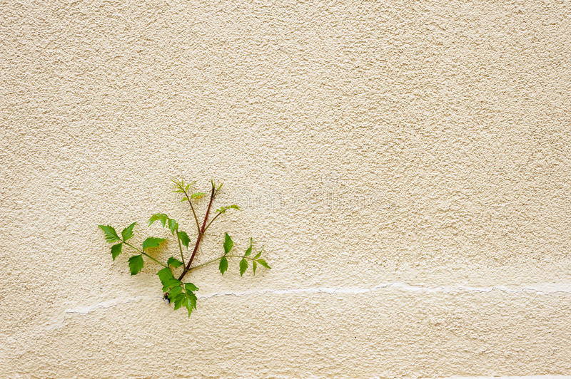 Green in the urban drab. Small plant growing up out of the soil and budding against a concrete wall with copy space stock image