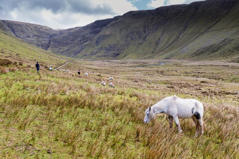 Green valley in Kerry. White horse in remote green valley of Maghanaboe, Co Kerry, Ireland stock photography