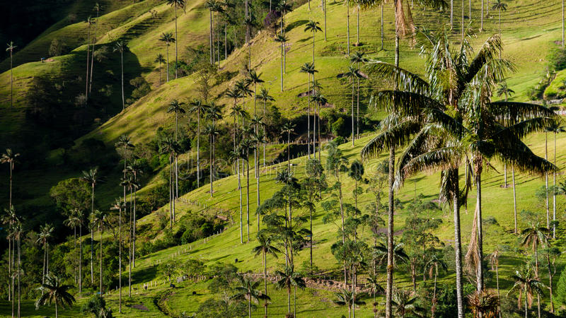 Green valley with tall palm tree in front of Valle. De Cocora, Colombia stock photo