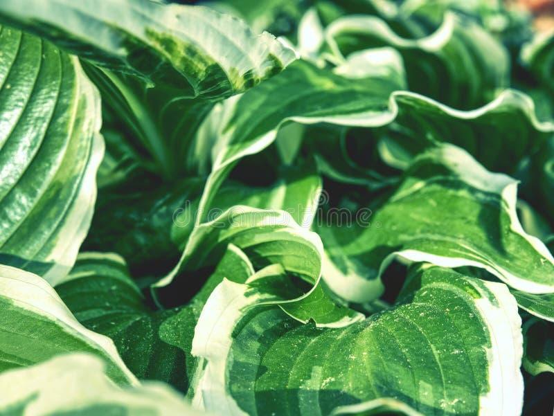 Green variegated Hostas. Hosta plant is Perennial flower royalty free stock photos