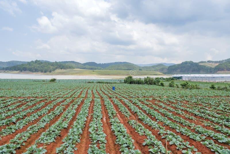 Green vegetable field stock image