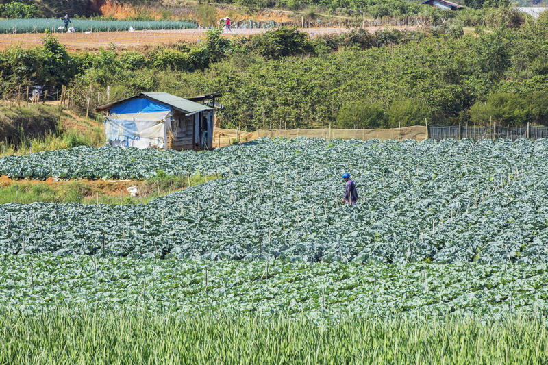 Green vegetables field near Lang Biang mountain, Da Lat city, Lam province, Vietnam. Farmer in Gladiolus flowers field at Lac Duong, Da Lat city, Lam province royalty free stock images