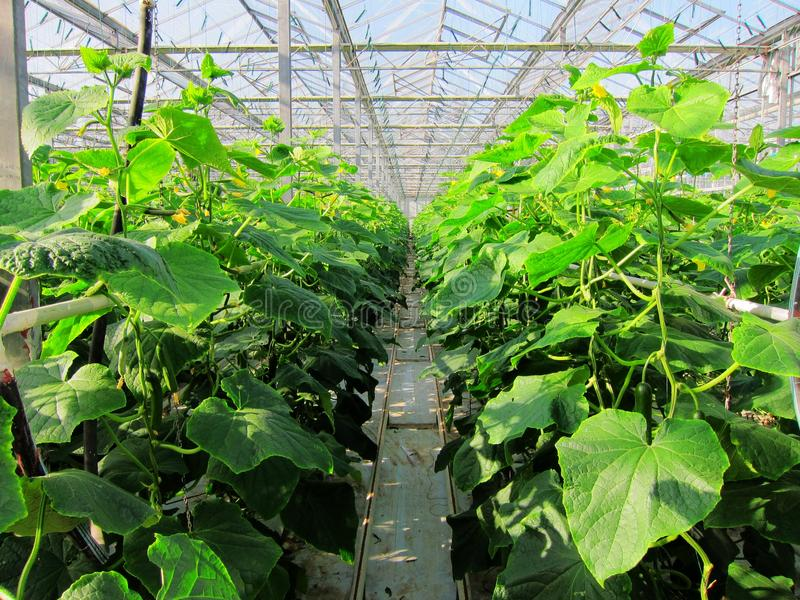 Download Green Vegetables In Greenhouses Stock Image - Image: 27677351