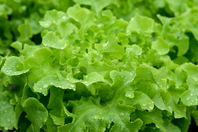 Green vegetables at the hydroponics farm , new system to grown stock image