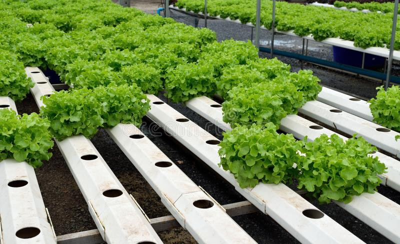 Green vegetables at the hydroponics farm , new system to grown. For market royalty free stock photos