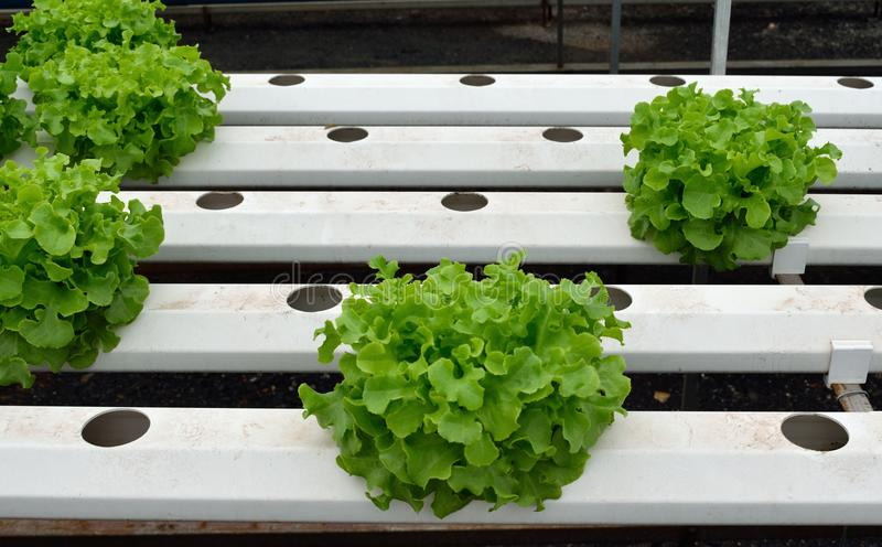 Green vegetables at the hydroponics farm , new system to grown. For market royalty free stock images