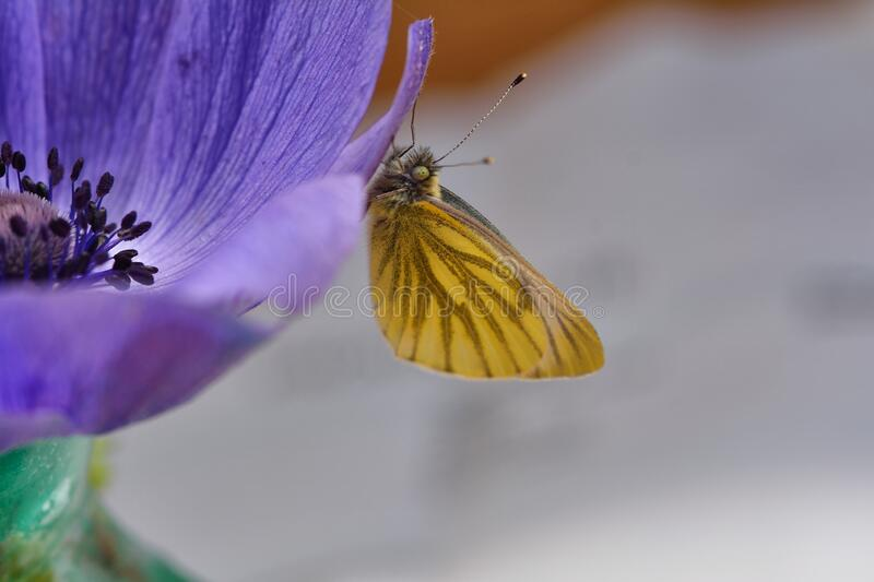 Green veined white butterfly on blue anemone flower royalty free stock images