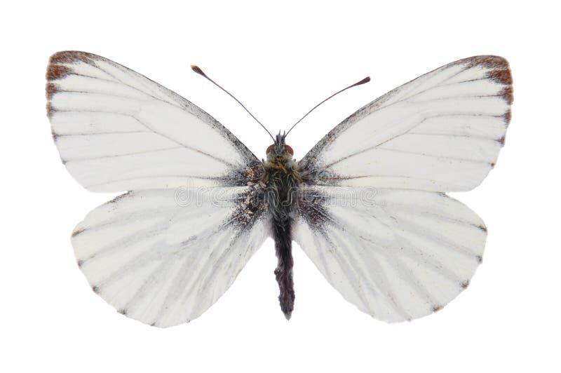 Green-veined White (Pieris napi) stock photo