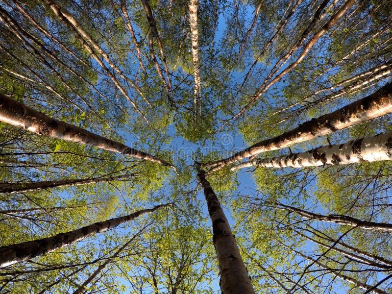 Green vibrant birch trees in summer sunshine stock photography
