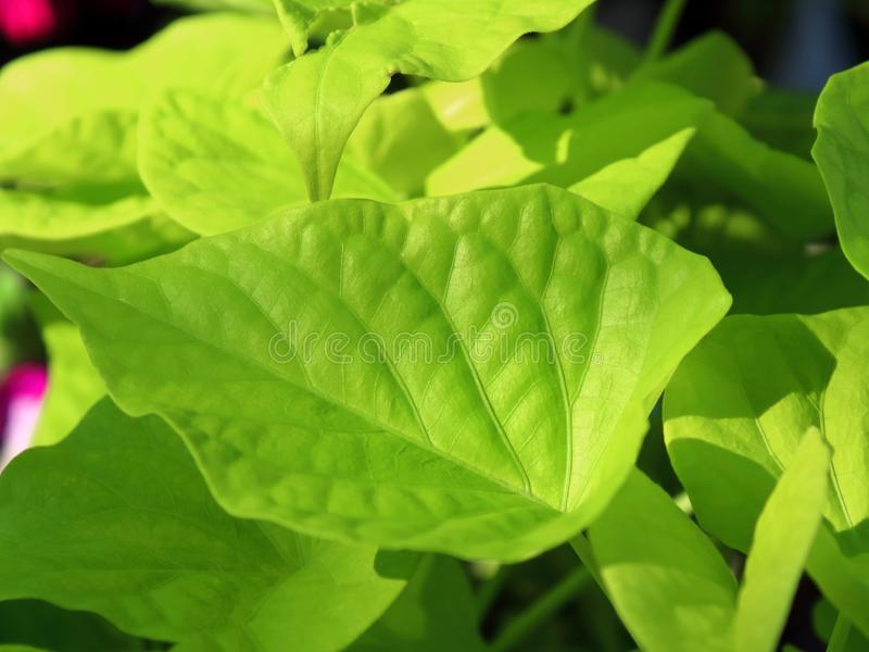 Green vibrant leaves close-up texture royalty free stock photo