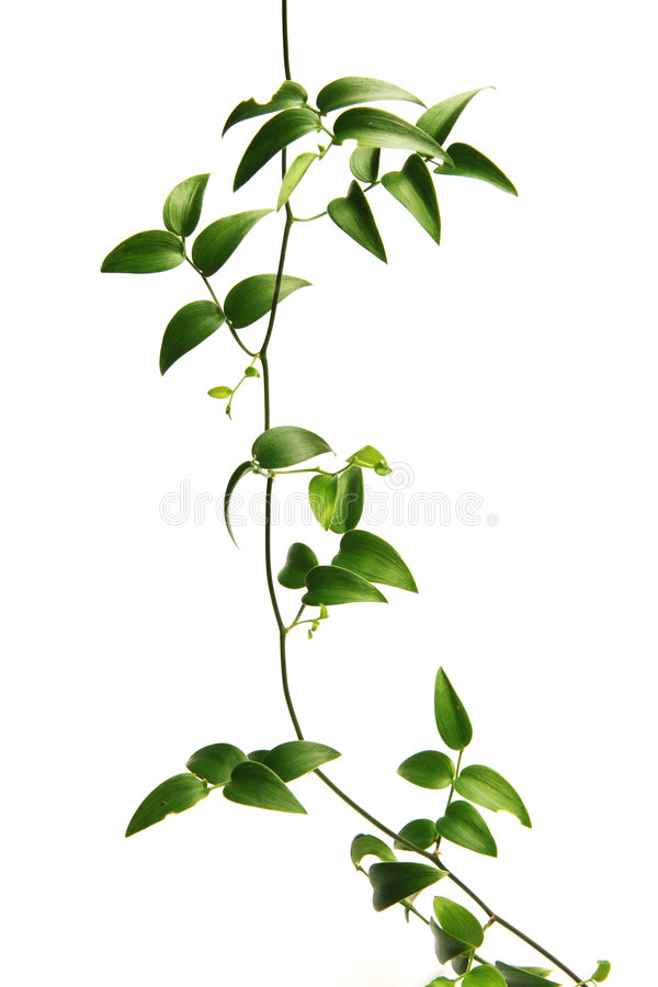 Free Green Vine Royalty Free Stock Photo - 1313045