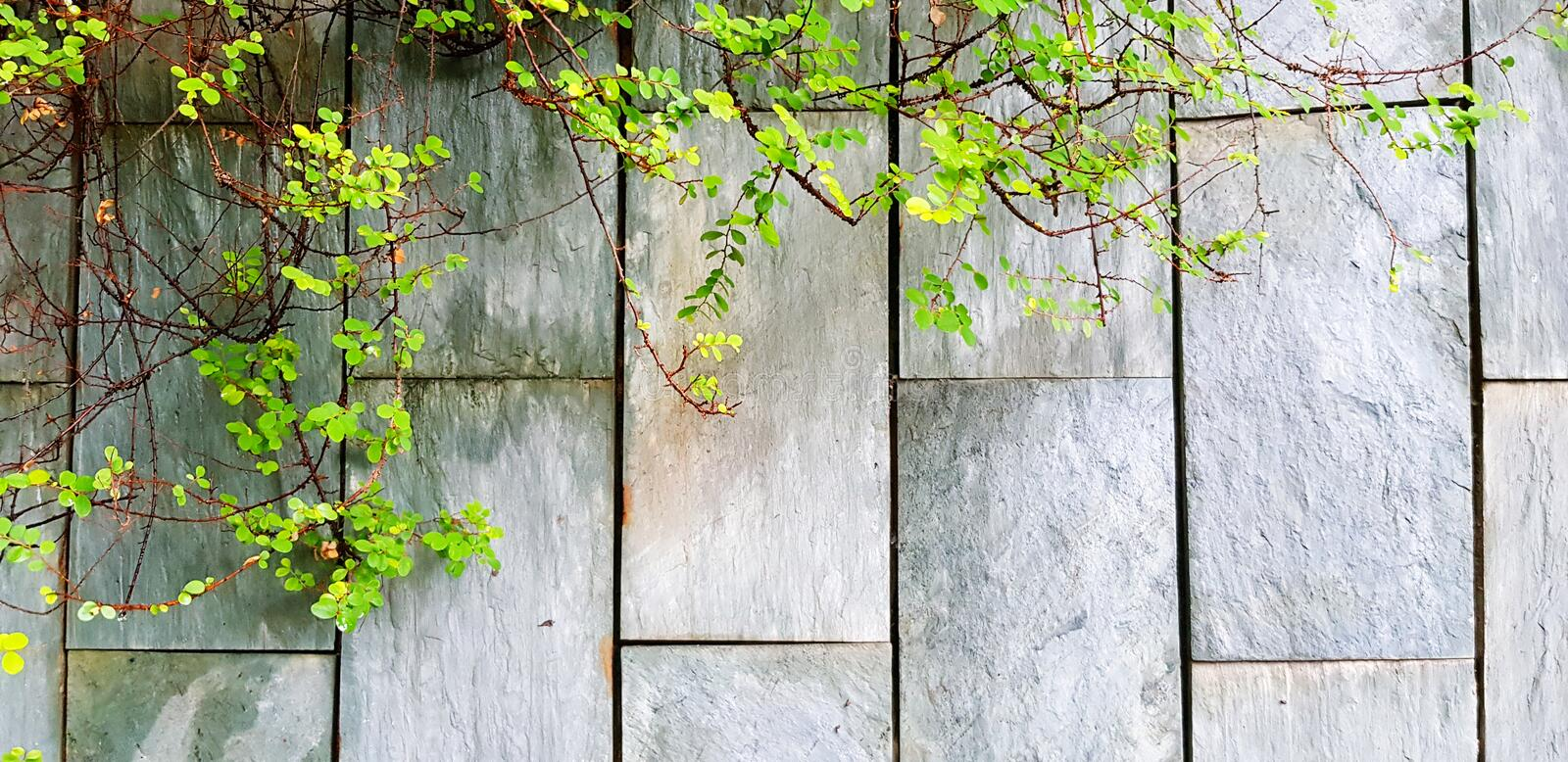 Green vine, ivy or creeping plant growth on the rough gray wall background with copy space. Nature plant and Background concept stock image