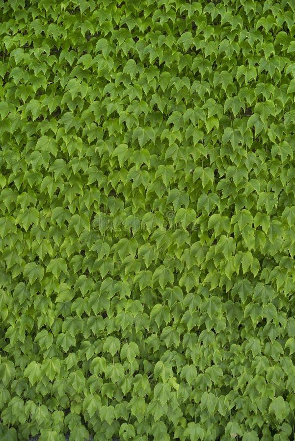 Green Vine Leaf Background royalty free stock images