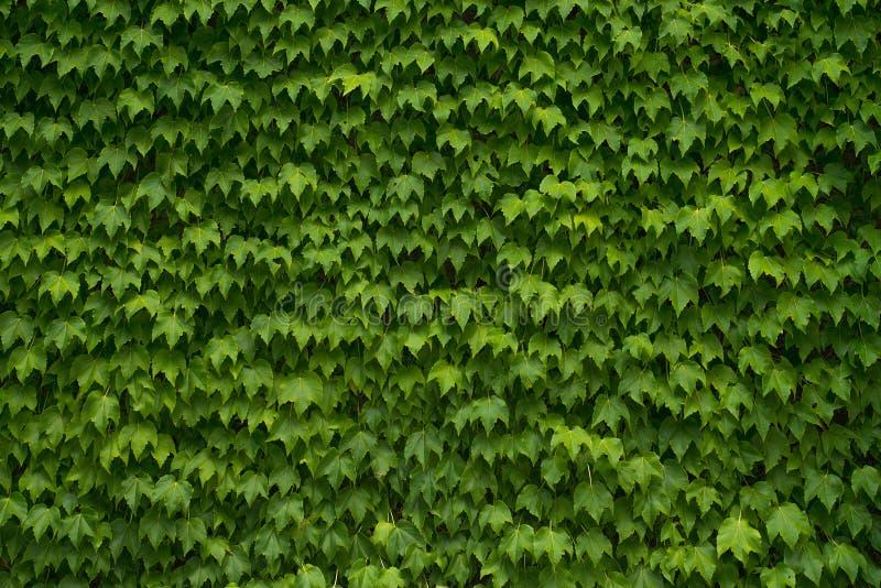 Green Vine Leaf Background stock photography