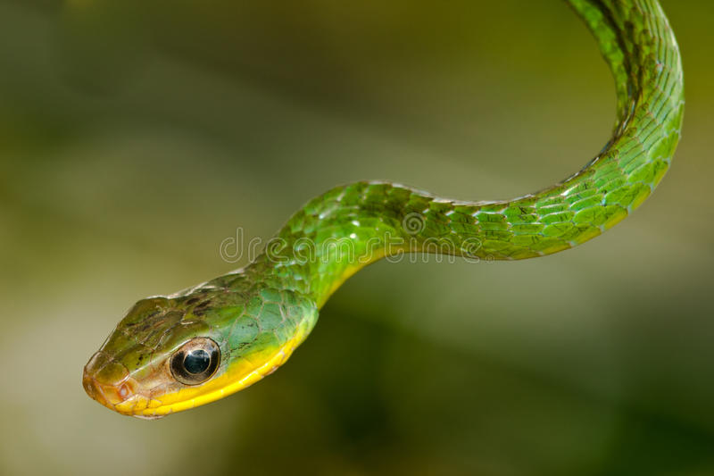 Download Green Vine Snake stock photo. Image of branch, fulgidus - 28297422