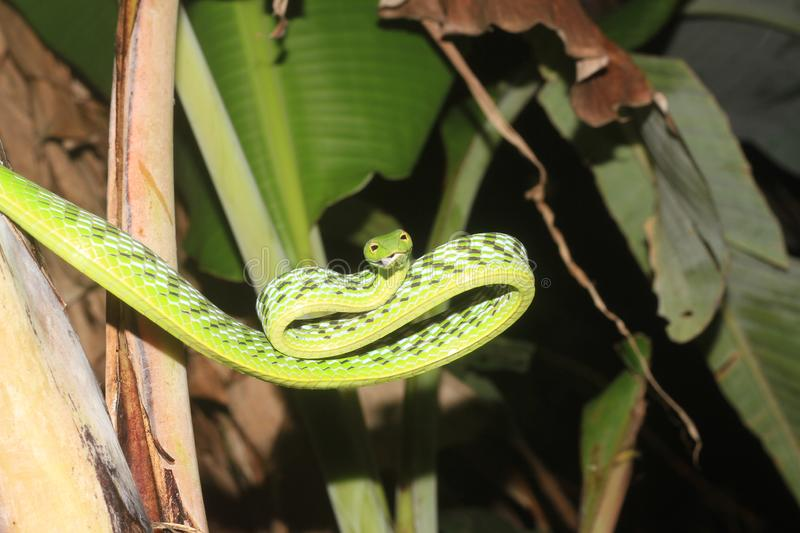 Green vine snake & x28;aheuttella nasuta& x29; stock photos