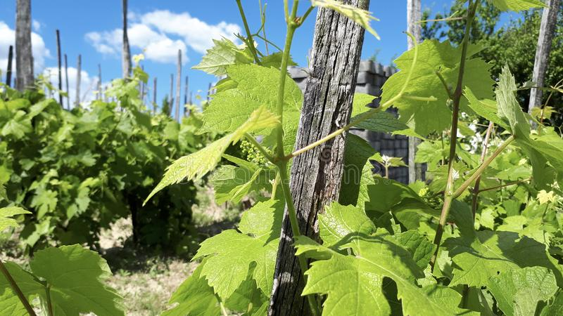 Green vine-stocks with green grape leaves with blue sky and clouds royalty free stock photography
