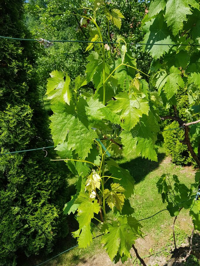 Green vine stock images