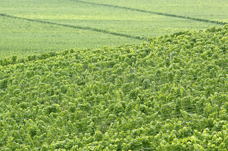 Download Green vineyard stock image. Image of vineyard, wine, estate - 25884175