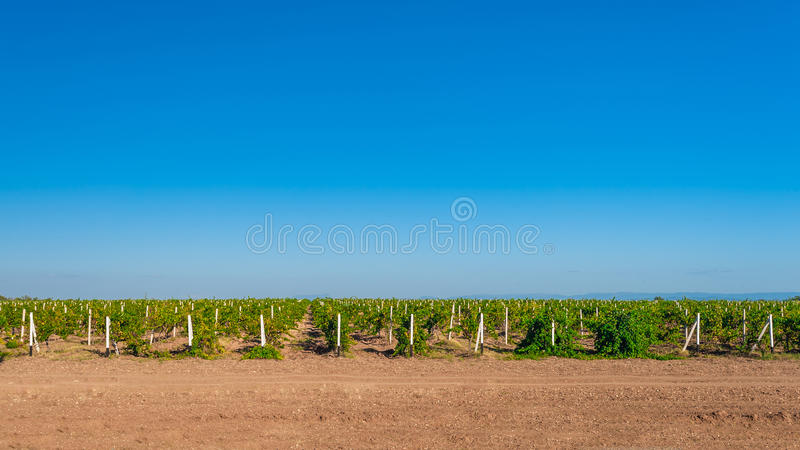 Green vineyard countryside. Green vineyard countryside with blue sky stock image